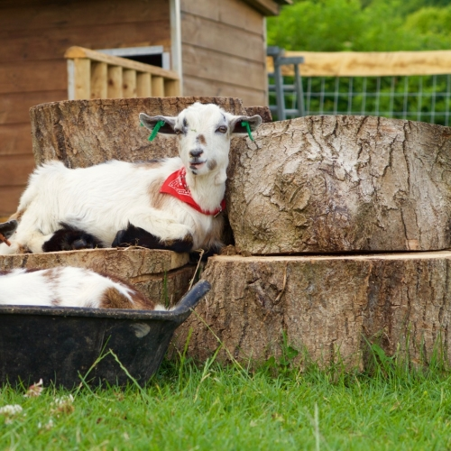 Pygmy Goats at Loose Reins